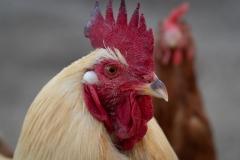 Auf unserem Biolandhof hat eine Gruppe von Hühnern auch einen Hahn.