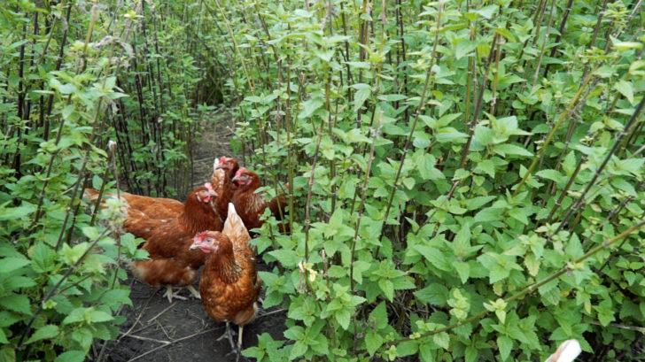 Habicht Hühnerhabicht